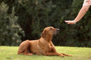 eduquer-son-chien-adulte